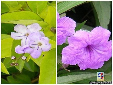 金露花與翠蘆莉-1
