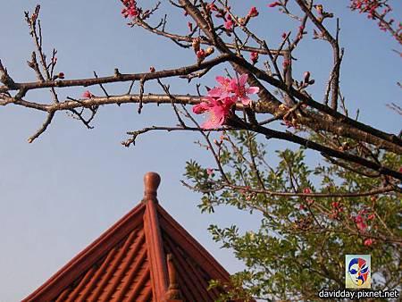 櫻花sakura-2