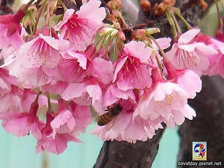 櫻花sakura-3