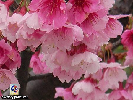 櫻花sakura-8SANY3192.JPG
