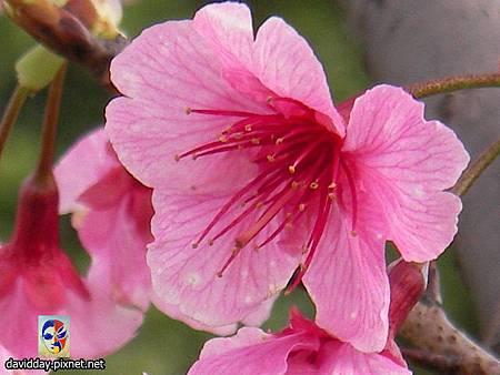 櫻花sakura-1