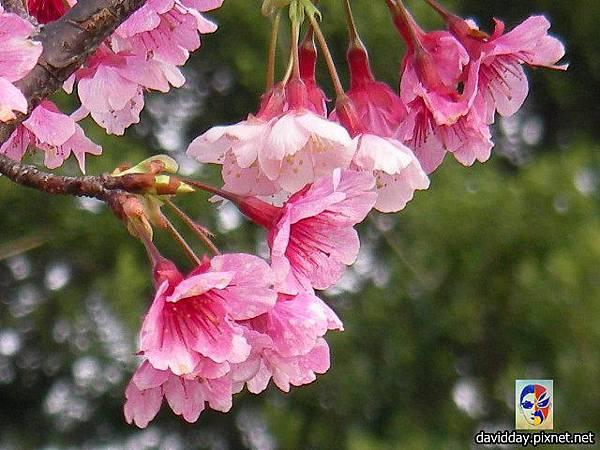 櫻花sakura-23SANY3243.JPG
