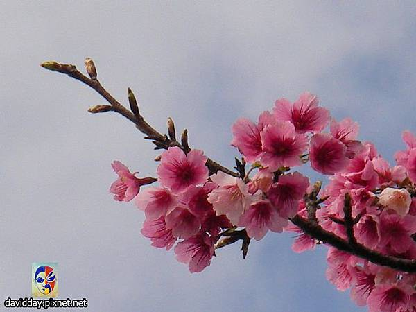 櫻花sakura-24SANY3246.JPG