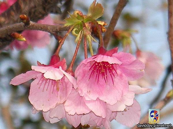 櫻花sakura-40SANY3292.JPG
