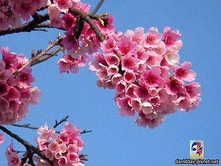 櫻花sakura-6SANY3302.JPG
