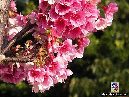櫻花sakura-43SANY3304.JPG