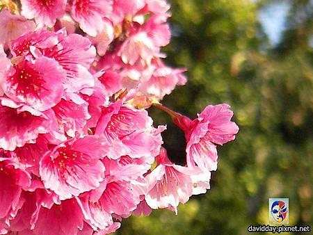 櫻花sakura-44SANY3305.JPG