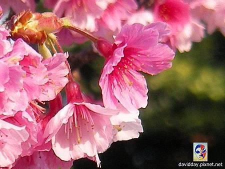 櫻花sakura-45SANY3307.JPG