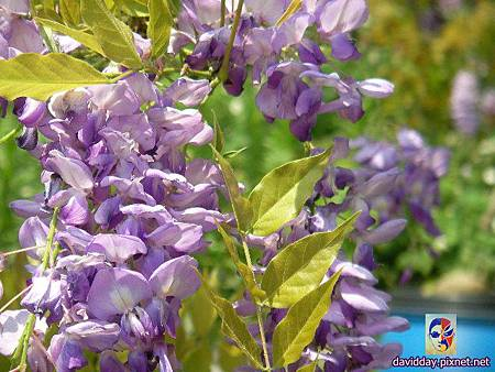 紫藤SANY4501.JPG