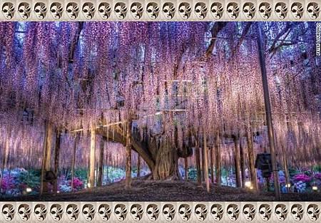 1+7、日本:足利花卉園.jpg-2