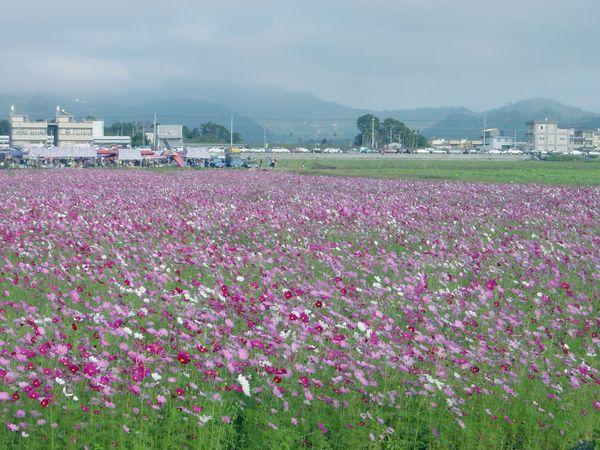 這是大波斯菊~顏色比較多樣
