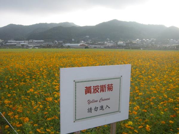 黃波斯菊告示牌