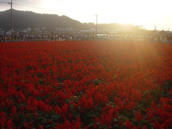 夕陽映照著一串紅