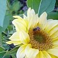 向日葵~上面停了一隻蜜蜂哦~