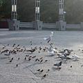 文化中心前的鴿子