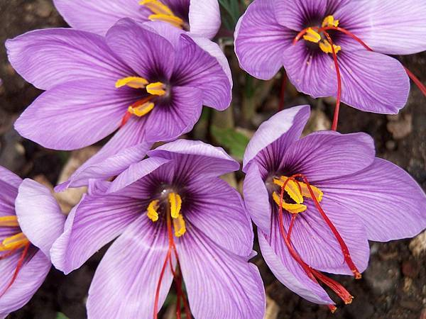 Four-saffron-flowers-Medium
