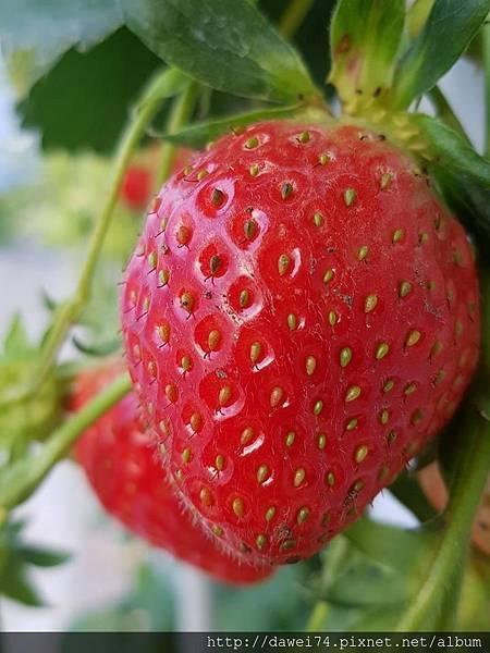 草莓園-4