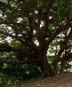 溪谷畔的幹花榕s.jpg