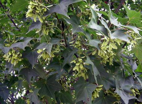 槭樹果八月s.jpg
