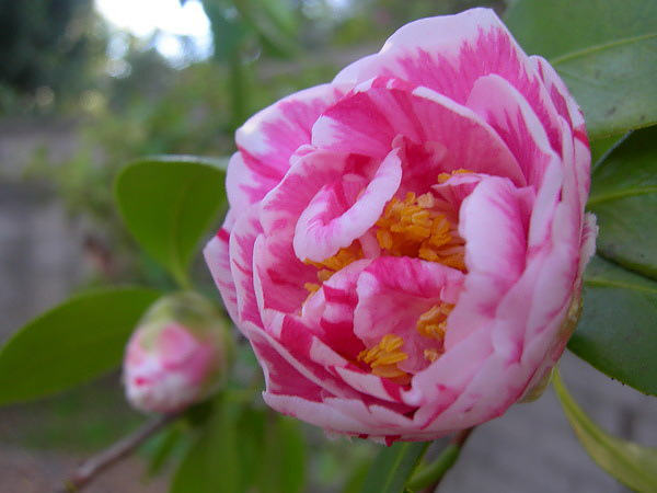 camellia.10.jpg