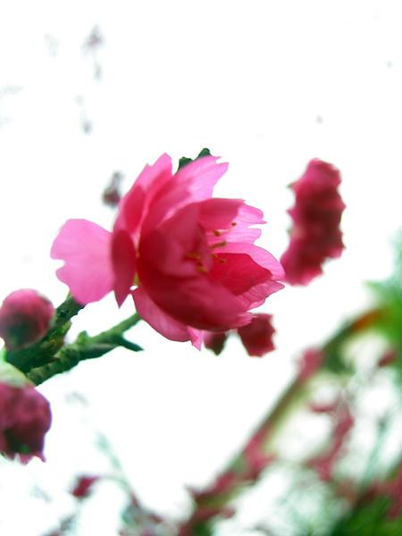 杏花s.jpg