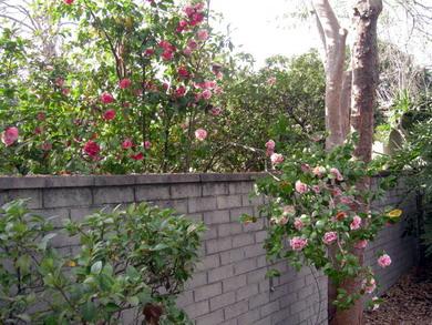camellia.14s.jpg