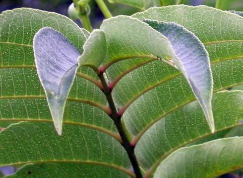 葉子表面的腺點.jpg