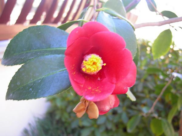 camellia.9.jpg