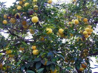 orange trees.jpg