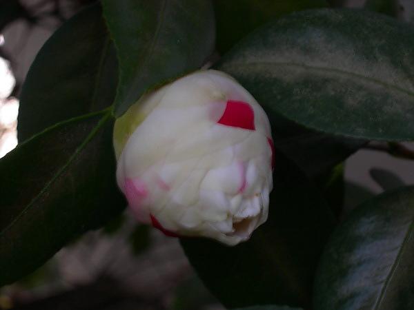 camellia.22.jpg