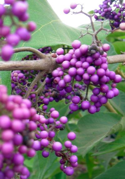 八月底紫珠s.jpg