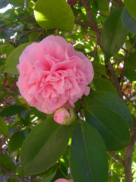 camellia.3jpg.jpg