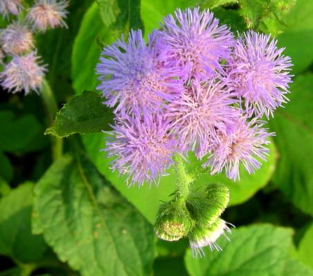 紫花藿香薊六月.jpg