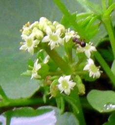 銅錢草的聚繖花序s.jpg