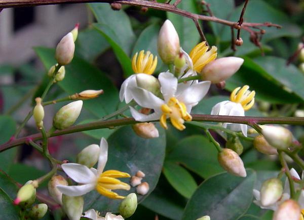 南天竹的花.jpg