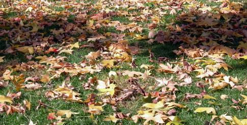 maple leavess.jpg