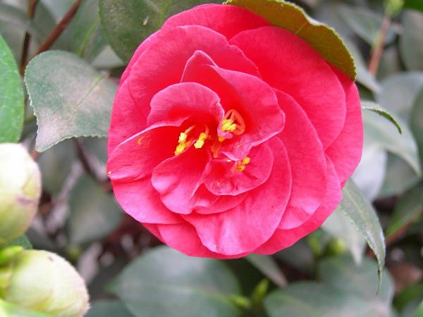 camellia 16.jpg