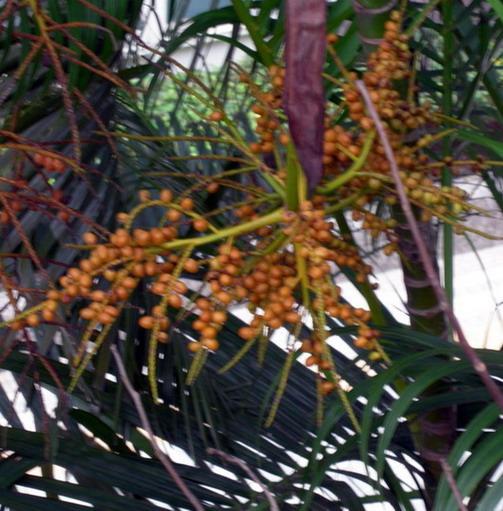 黃椰子九月.jpg