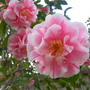camellia.15.jpg