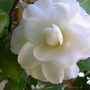 camellia.21.jpg