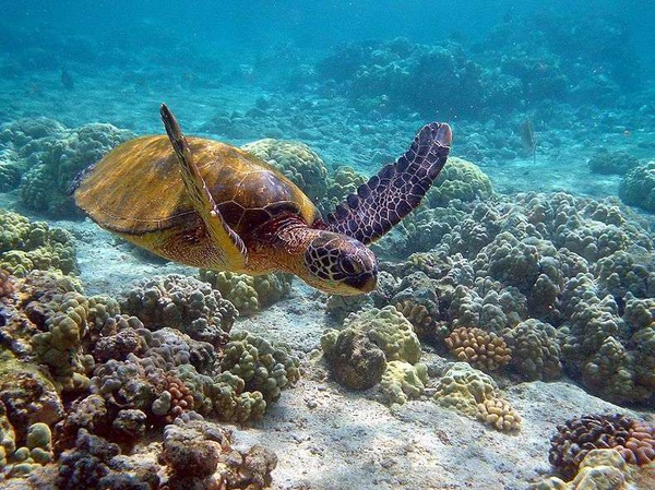 Great_Barrier_Reef_Sea_Turtle.jpg