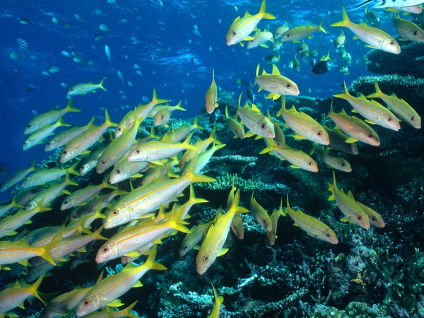 Yellow%20Goatfish,%20Great%20Barrier%20Reef,%20Australia%20pictures%20underwater%20photos.jpg