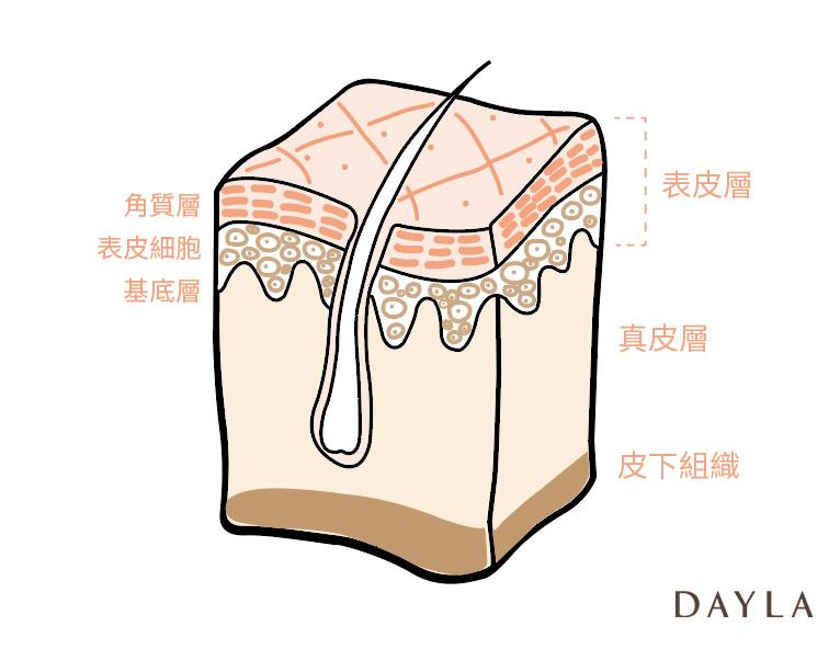 肌膚構造.jpg