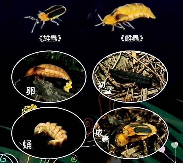 台灣窗螢是螢火蟲界的大個子.JPG
