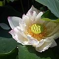 彰化賞蓮花就是荷花1.jpg