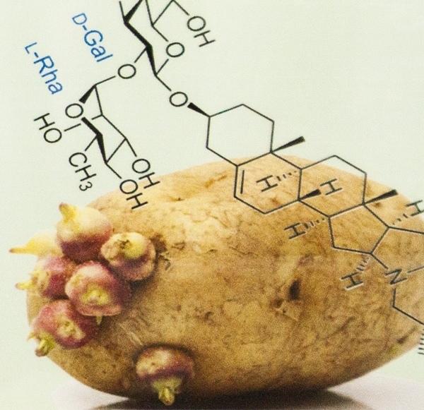 發芽的馬鈴薯含有大量的茄鹼.jpg