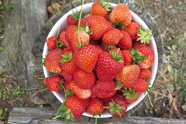 草莓農藥殘留量高.JPG