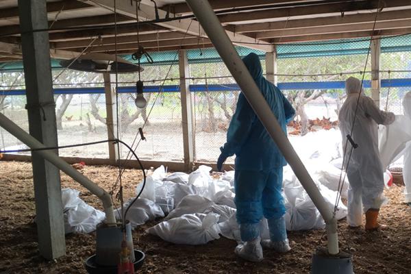 彰化鹿港一處土雞場感染禽流感 近7千隻雞遭撲殺1.png