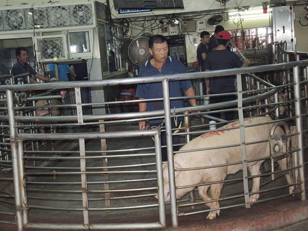 非洲豬瘟衝擊國內豬肉價 產地毛豬行情直直跌1.png