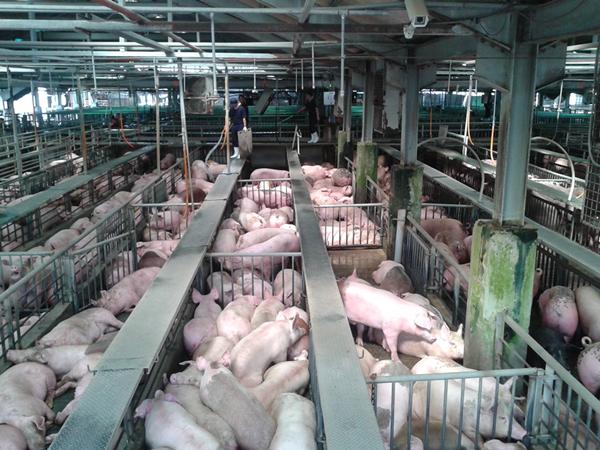 非洲豬瘟衝擊國內豬肉價 產地毛豬行情直直跌5.png